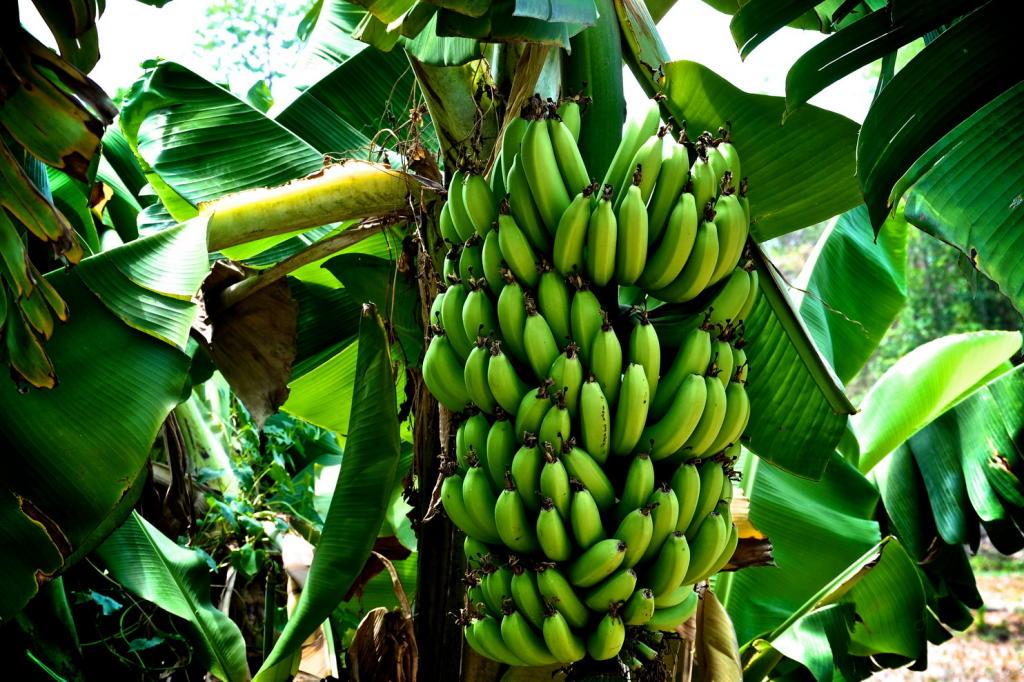 الموز الأخضر هو الحل الأمثل للرشاقة