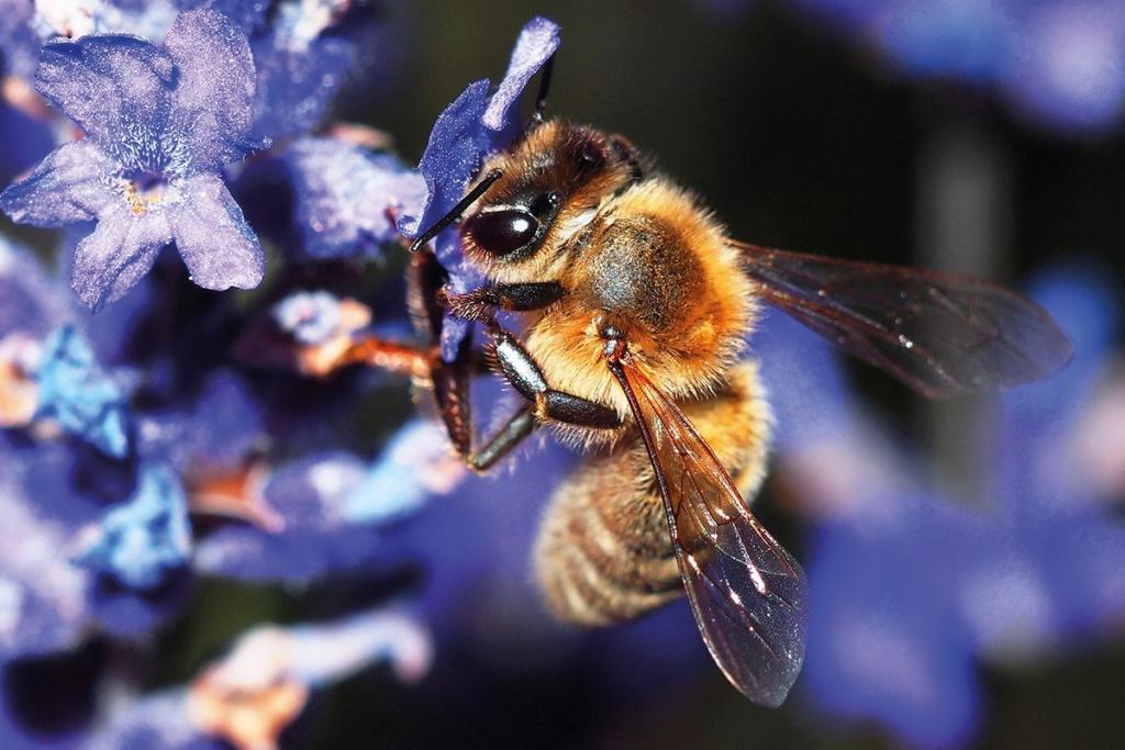 تجوب ملكة النحل الخلية معلنة عن حضورها للعاملات