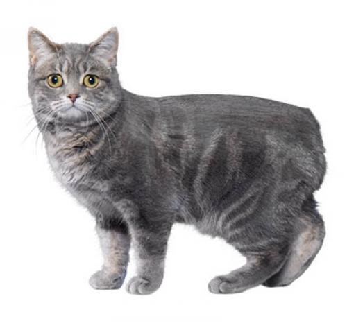 cat_manx.jpg