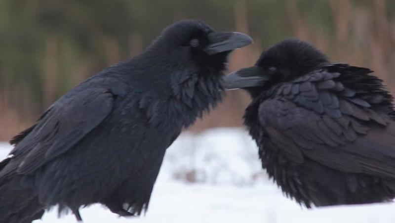 الغراب أذكى الطيور الجارحة
