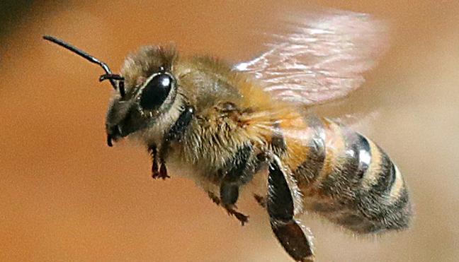 ستتم الإستعانة بسم النحل للقضاء على السرطان
