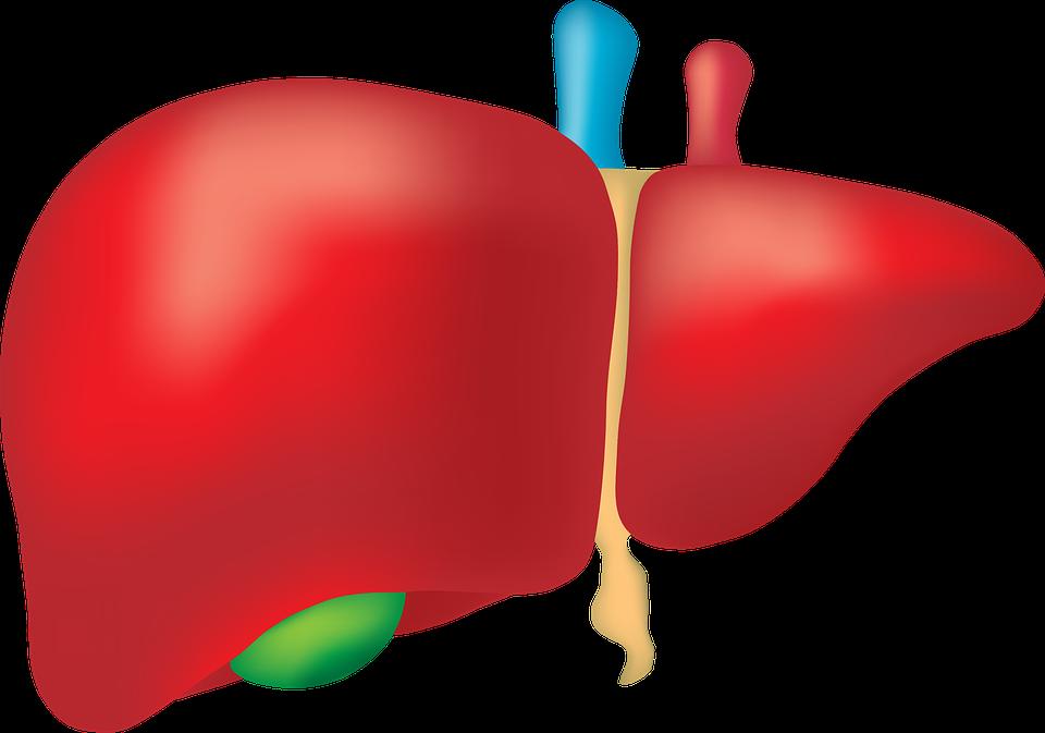 الكبد يملك قدرات خفية !