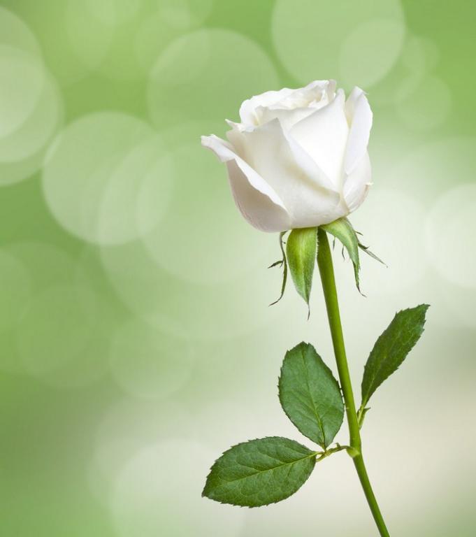 Image result for الزواج  الوردة