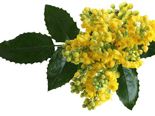 زهور أوريغون