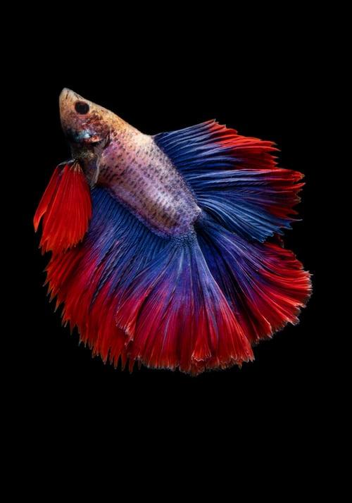 تفسير انتقال السمك في المناك