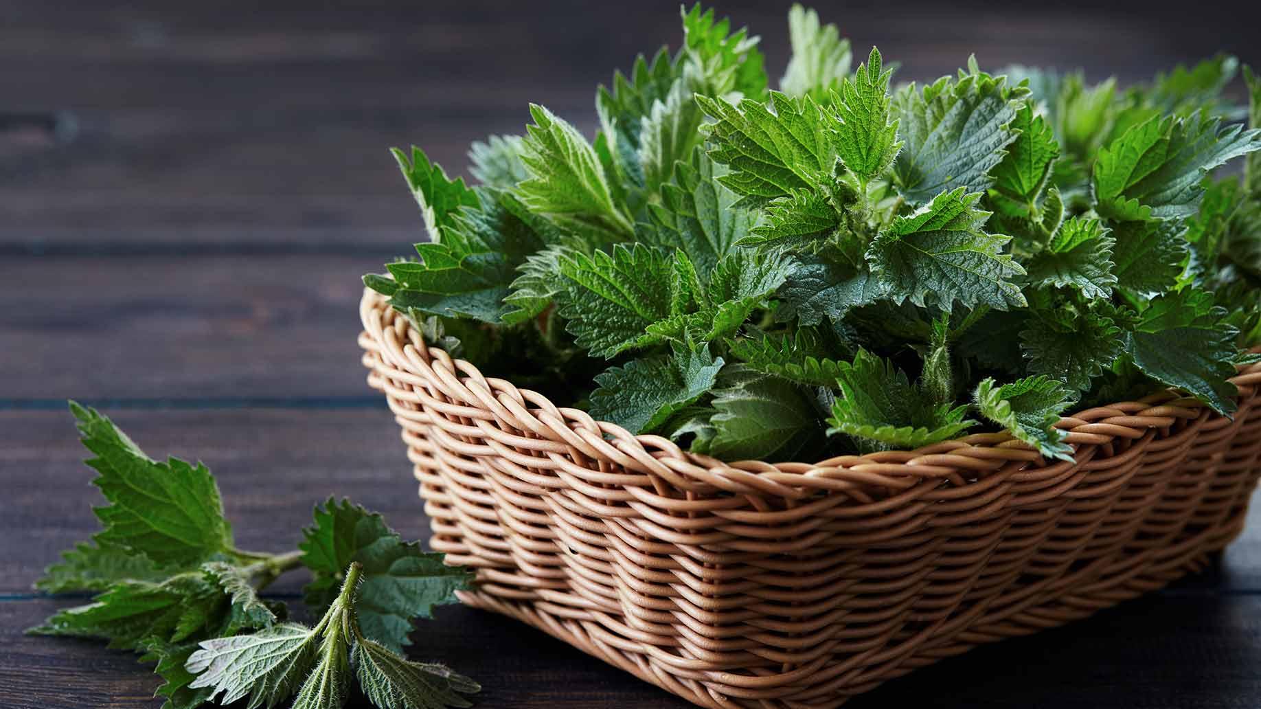 فوائد نبتة القراص مذهلة للصحة