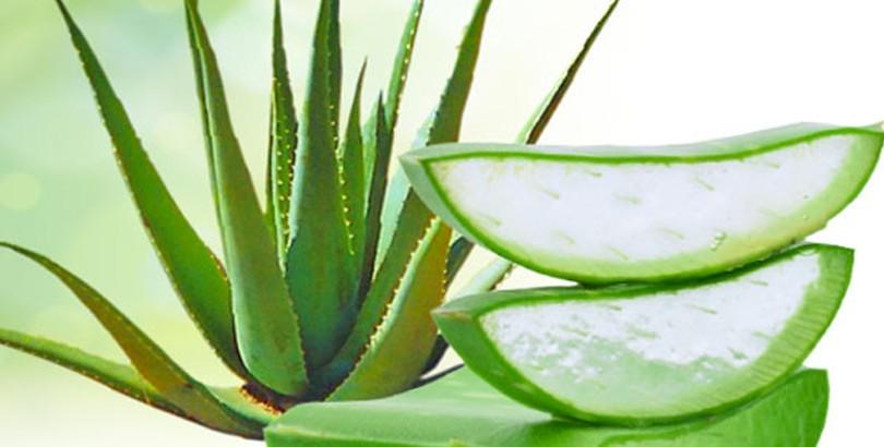 نبات الصبار رائع لعلاج الامساك